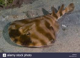 electric ray fish stock photos u0026 electric ray fish stock images