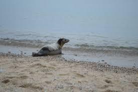 amazing seal adaptations national marine life center