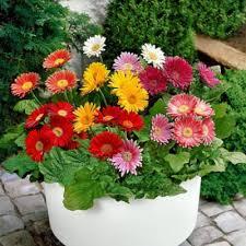 gerbera plant buy gerbera pack of 5 plant online at nursery live best