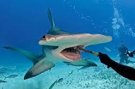 hammerhead shark eats out of diver u0027s hand grindtv com