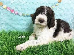 australian shepherd labradoodle labradoodle puppies pet center hattiesburg ms