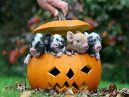 Happy Halloween Meme - cute happy halloween piglets picture