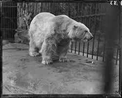 Ottoman Zoo Polar Ursus Maritimus In Cage Lincoln Park Zoo 1900 I