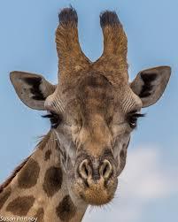 long necks and doe eyes 12 photos for giraffe lovers
