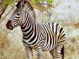 Genuine Zebra Rug Genuine Zebra Rug Skin Za Buy Exotic Leather Skins And Hides