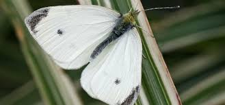 cabbage white butterfly pest identification for vegetable gardens