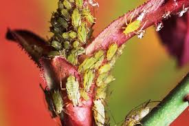 organic methods for controlling aphids