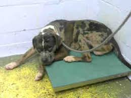 american pitbull terrier puppies for adoption view ad american pit bull terrier catahoula leopard dog mix dog