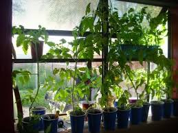 light requirements for growing tomatoes indoors 10 expert advice on growing tomatoes indoor gardenaware com