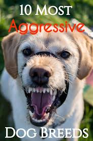 what is the dog show on thanksgiving 10 most aggressive dog breeds temperament ratings and information