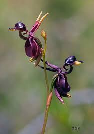 monkey orchids monkey orchids pics