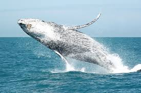 Whale by Naturaliste Charters Whale Watching U0026 Eco Tours Your Margaret