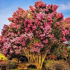 32 best trees shrubs images on garden plants plants