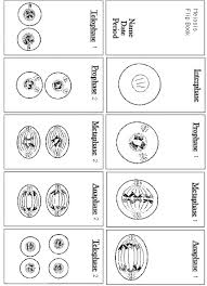 phases of meiosis worksheet 28 templates plant animal cells