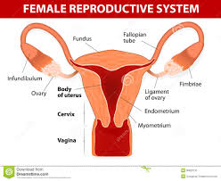 Human Anatomy Woman Female Reproductive System Stock Photo Image 35820710