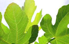 fig leaf tea u2013 for lowering glucose cholesterol and