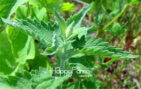 Catnip Flower - online get cheap catnip plant aliexpress com alibaba group