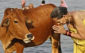 why are cows special in india