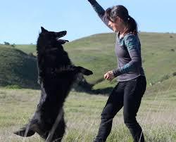 belgian sheepdog california ch blackforest u0027s aurora u2013 rosie u2013 blackforest belgian sheepdogs