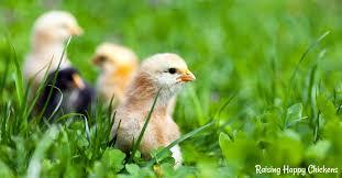 Keeping Free Range Chickens In Your Backyard Xfree Range Baby Jpg Pagespeed Ic Qudwluqseu Jpg