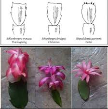 difference between thanksgiving and easter cactus