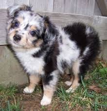 5 month old mini australian shepherd aussiedoodle dog breed information and pictures