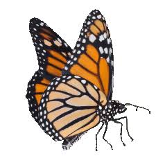 funeral butterflies providers of live monarch butterflies for