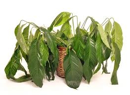 Curry Leaf Plant Diseases - what u0027s wrong with my houseplants house plant problems and solutions