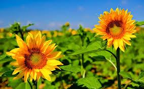 foto wallpaper bunga matahari sunflower hd wallpaper imgstar