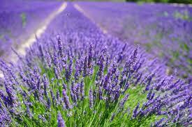 fiori viola immagini prato prateria viola flora fiore di co