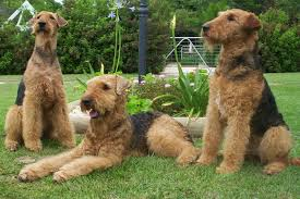 does a bedlington terrier shed airedale terrier justadogg
