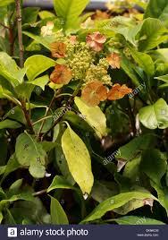 evergreen climbing hydrangea hydrangea seemannii hydrangeaceae