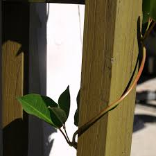 how to grow mandevilla a vine idea home fixated