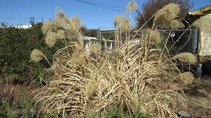 ornamental grasses dallas garden buzz