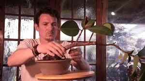 167 Ficus Elastica Bonsai Rubber Tree Bonsai Rubber Fig Bonsai