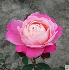 Fragrant Rose Plants - china fragrant rose plant china fragrant rose plant shopping