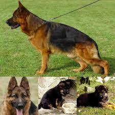 little creek german shepherds of virginia u0026 haus rankin kennel