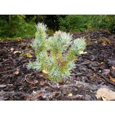 white pine tree wholesale pine trees white pine tree for sale in michigan cold