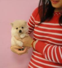 affenpinscher for sale canada images of puppies and wouldlike to add your images of akita