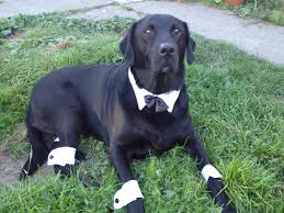 dapper halloween costumes dapper bobber all ready for halloween black lab black labs