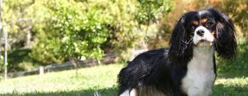 afghan hound breeders qld austradan kennels home