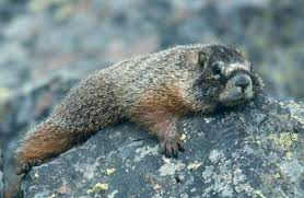 Utah wild animals images The yellow bellied marmot on wild about utah upr utah public radio jpg