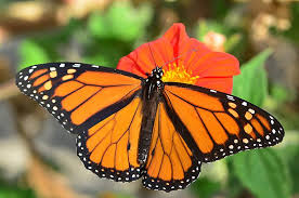 monarchs wings yield clues to their birthplaces uc davis