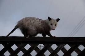 Possum In My Backyard Opossum Making Itself Unwelcome In Pleasant Hill Yard U2013 The