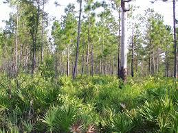 Florida forest images Uneven aged management forest management florida forest gif