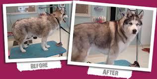 australian shepherd grooming needs la u0027pooch salon grooming professional pet boarding kennels and
