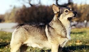 belgian sheepdog crossword clue swedish vallhund dog breed information