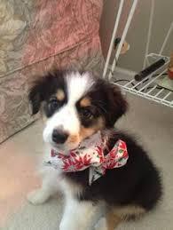 rockin diamond t australian shepherds baby australian shepherd need favorite pups pinterest