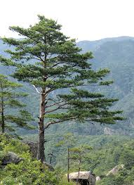 meaning of trees pine wikipedia