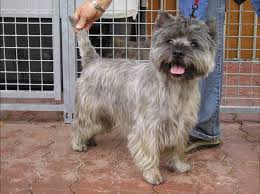 brindle cairn haircut 64 best dogs cairn terrier images on pinterest cairn terrier